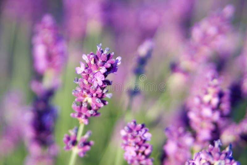 Lavendel am Sommer mit kurzer Schärfentiefe stockbild