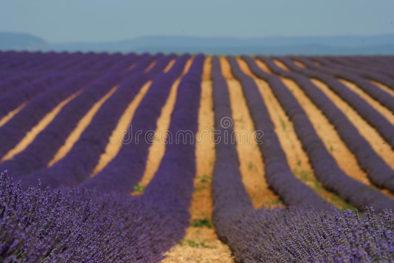 Lavendel- und lavandinfelder in Provance lizenzfreies stockbild