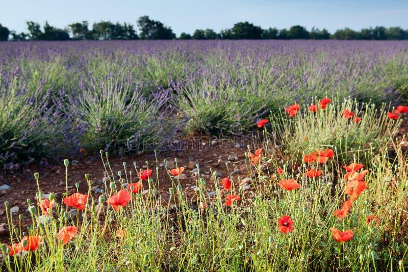 Lavendel und Mohnblumen stockbild