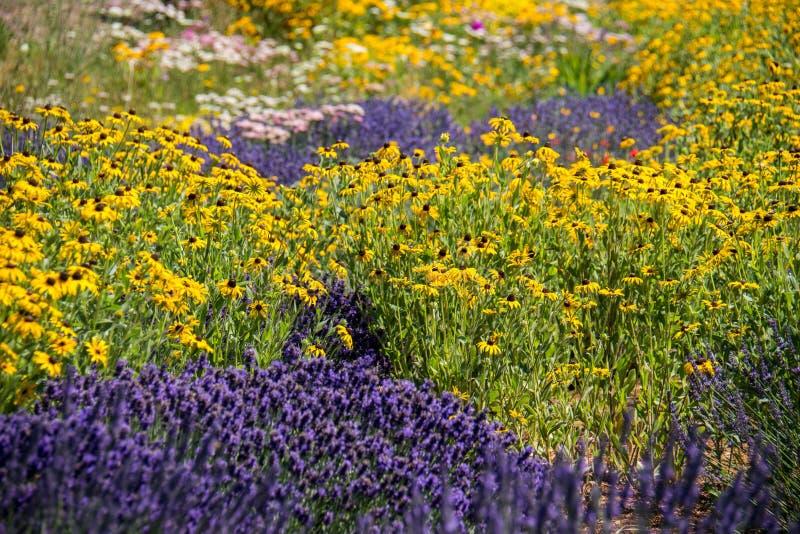 Lavendel und schwarze gemusterte Susan-Gänseblümchen Wildflowers in einer Wiese an einem sonnigen Tag lizenzfreie stockfotos