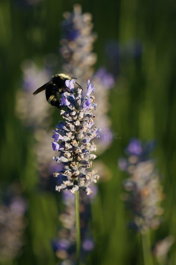 Lavendel w/bumblebee lizenzfreies stockbild