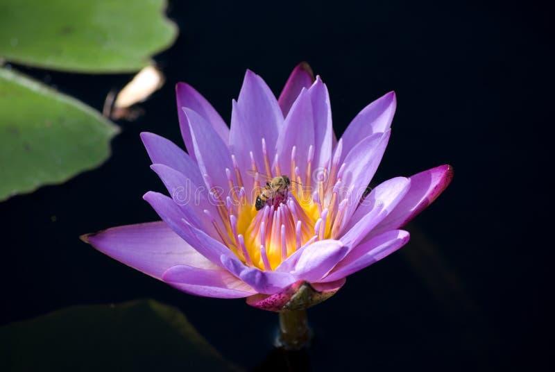 Lavendel-Wasser Lilly lizenzfreie stockfotografie
