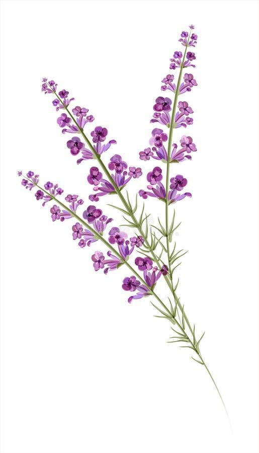 Lavendel. Waterverftekening. Vector royalty-vrije illustratie