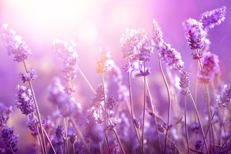 Lavendel in zonlicht royalty-vrije stock afbeeldingen