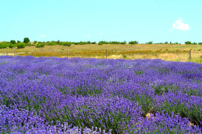 Lavendelackerland lizenzfreie stockfotografie
