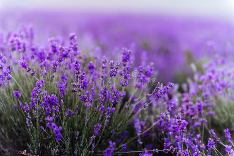 Lavendelbüsche schließen bei Sonnenuntergang lizenzfreie stockfotografie