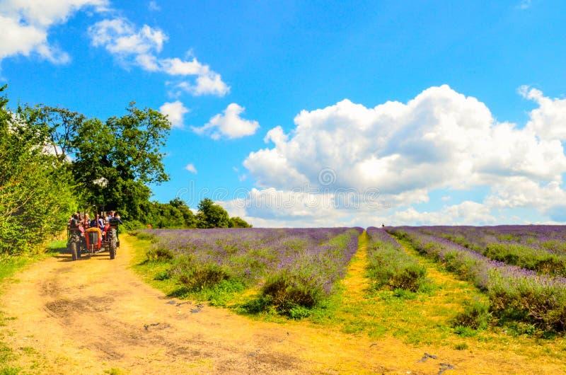 Lavendelbauernhof, Nord-Surrey-Hügel, Großbritannien 19. Juli stockfoto