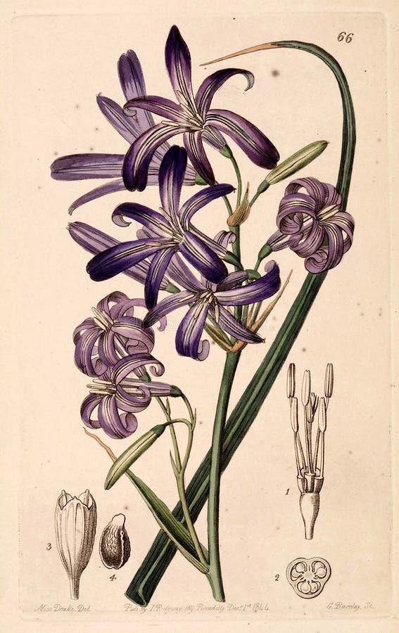 Lavendelberglilja, Lilja-av--Altai ( 1844) arkivbilder