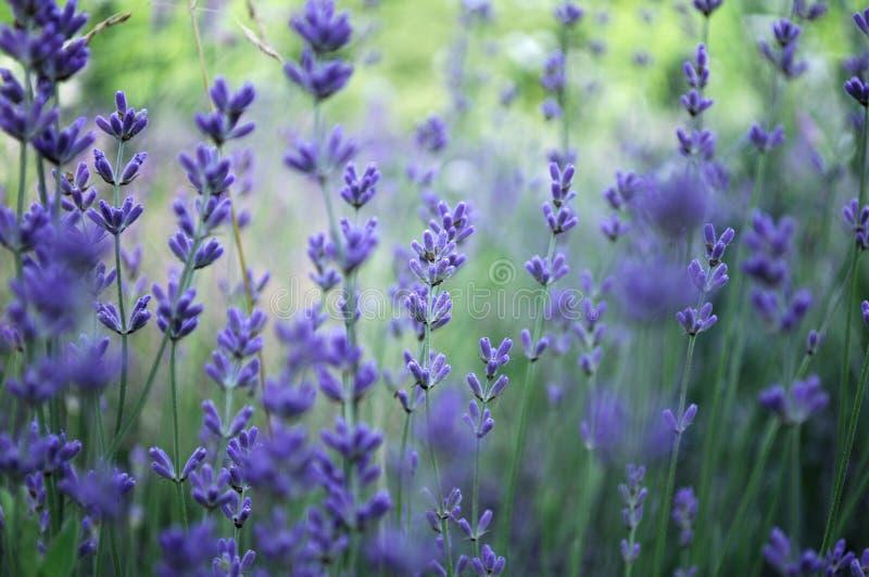 Lavendelbetriebsfeld stockbilder