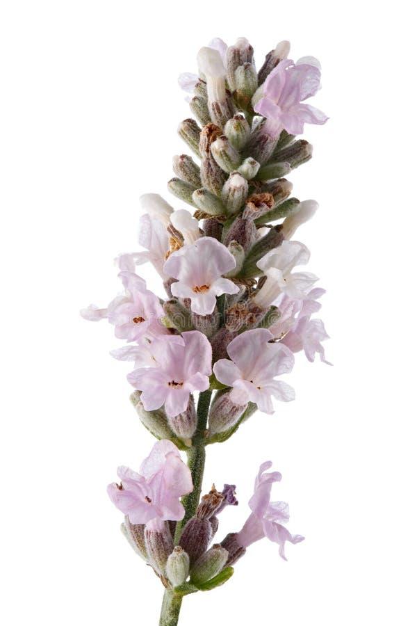 Lavendelblüte lokalisiert auf weißem Hintergrund stockfotografie