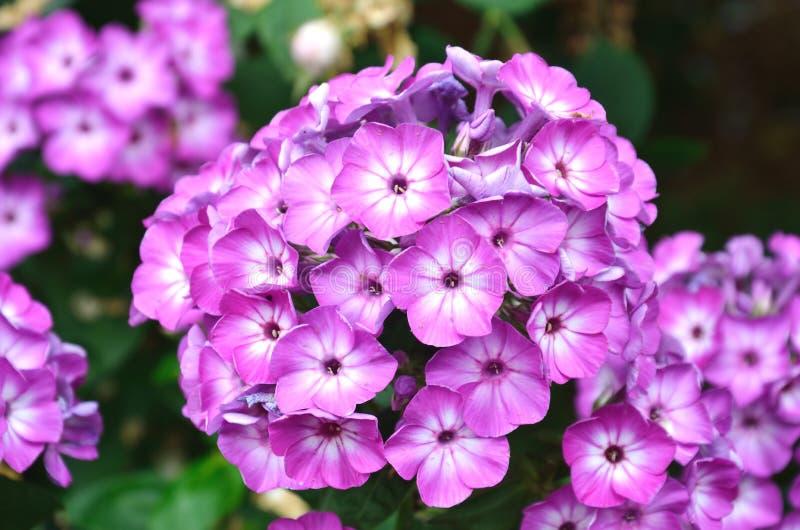 Lavendelbloem stock foto