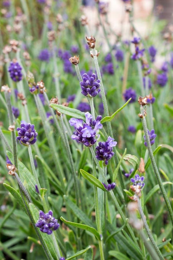 Lavendelbloem in de tuin royalty-vrije stock afbeelding