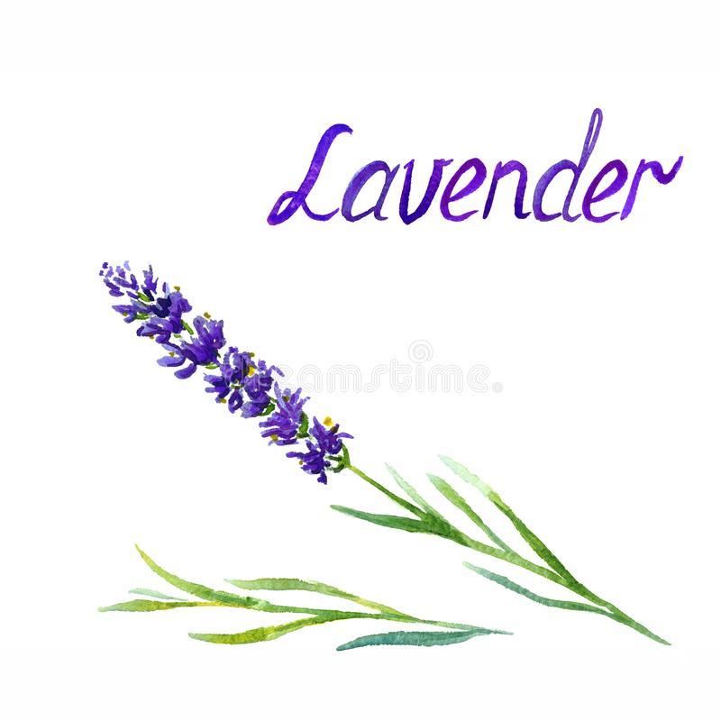 Lavendelbloem en bladeren, op witte achtergrondhand geschilderde waterverfillustratie die wordt geïsoleerd stock afbeelding