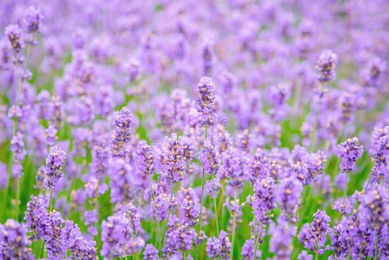 Lavendelbloem op het gebied stock afbeelding