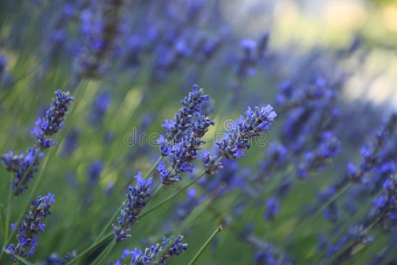 Lavendelbloembed in Bol royalty-vrije stock afbeelding