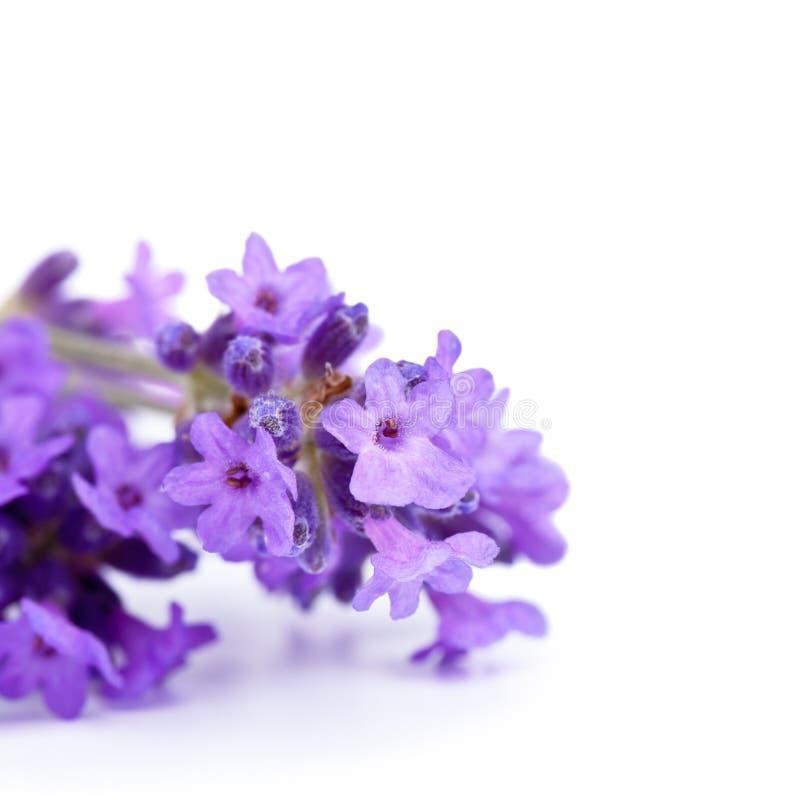 Lavendelbloemen stock afbeeldingen