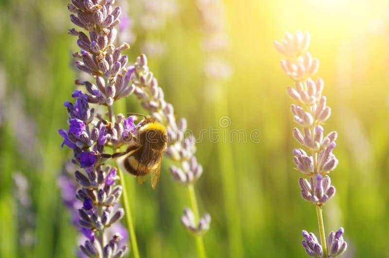 Download Lavendelbloemen stock afbeelding. Afbeelding bestaande uit lavendel - 39113905