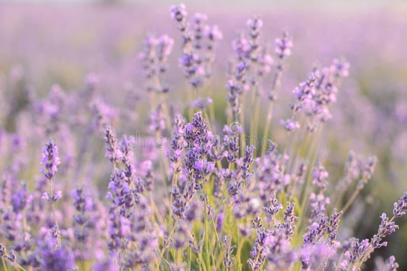 Lavendelbloemen het Bloeien Purper gebied van bloemen Tedere lavendelbloemen stock foto's