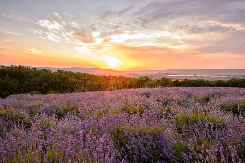 Lavendelbloemen het Bloeien Purper gebied van bloemen Tedere lavendelbloemen stock afbeelding