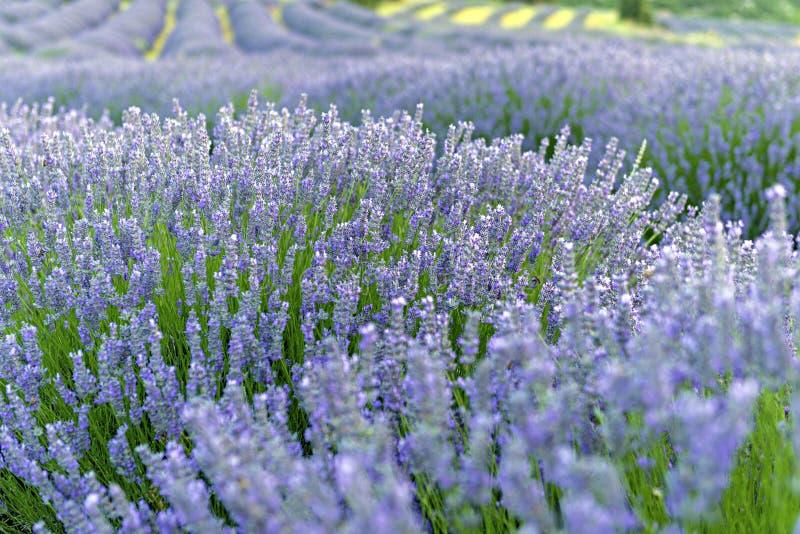 Lavendelbloemen in Kuyucak, Isparta van Turkije Zonsondergang over su stock afbeelding