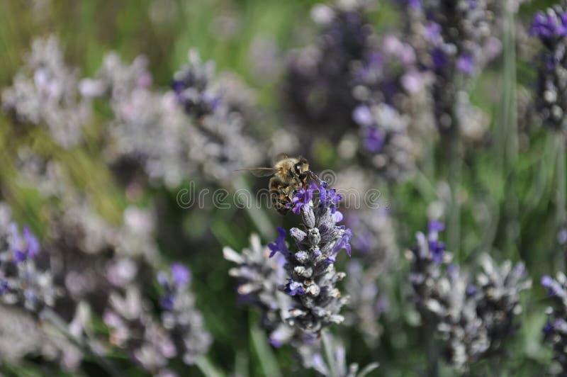Lavendelbloemen met een bij die stuifmeel verzamelen stock fotografie