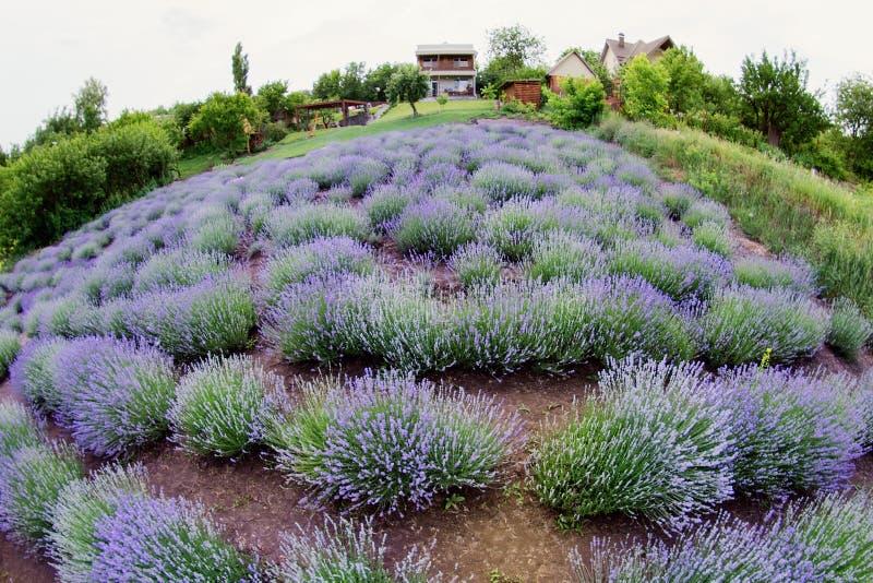 Lavendelbloemen op lavendelgebied gebied van de de zomer het purpere lavendel Zachte nadruk het gebied voor achtergrond royalty-vrije stock foto