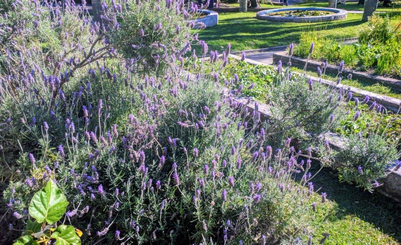 Lavendelbloemen in tuin royalty-vrije stock fotografie