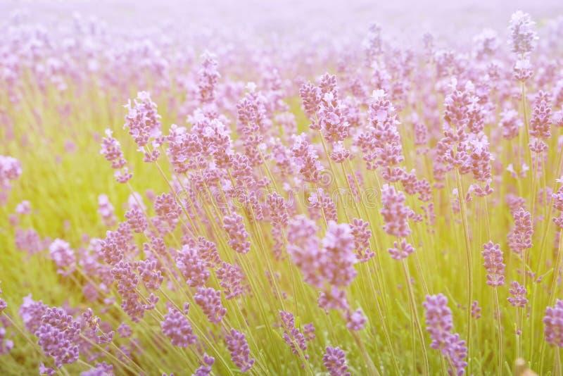 Lavendelbloemen - Zonsondergang over een gebied van de de zomer purper lavendel royalty-vrije stock afbeeldingen