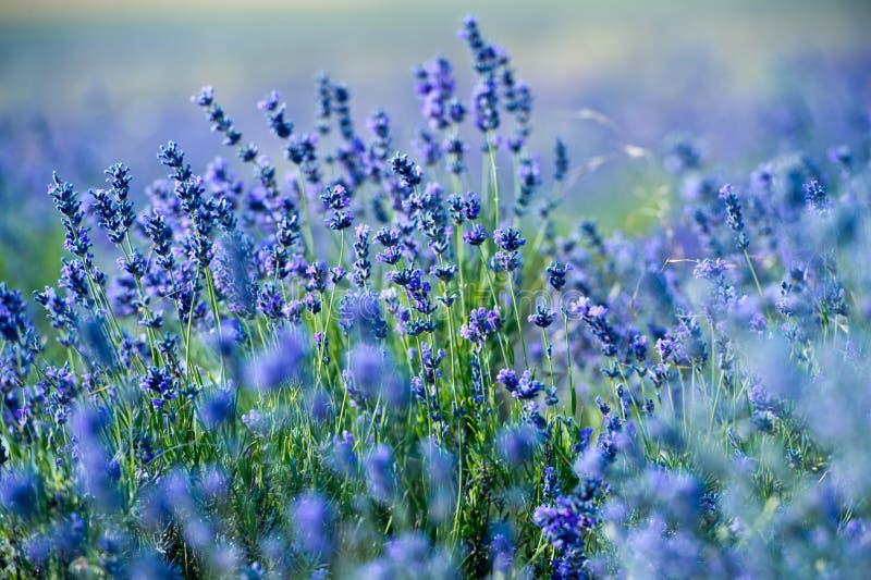 Lavendelbloemen - Zonsondergang over een gebied van de de zomer purper lavendel stock foto