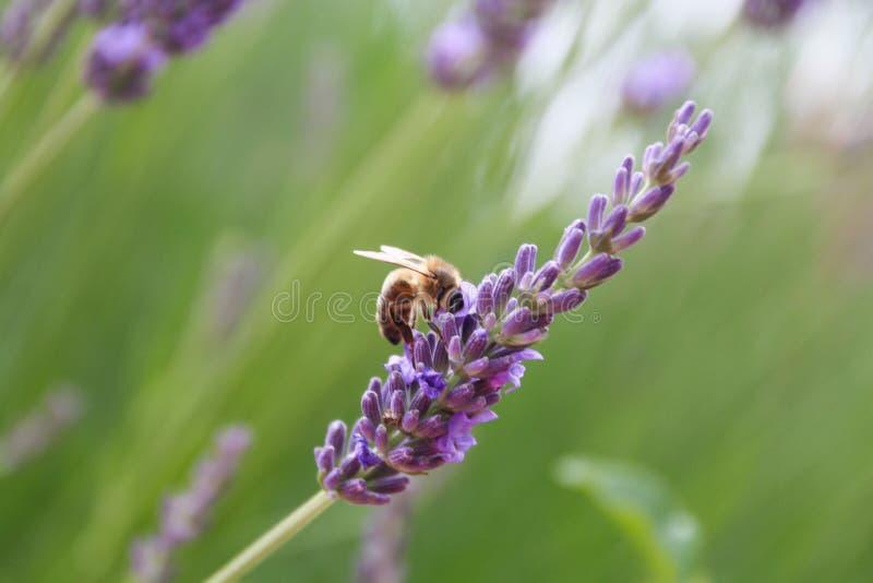 Lavendelblomma och en Honey Bee royaltyfri fotografi