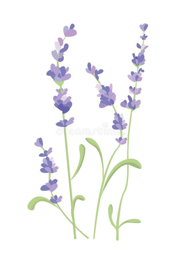 Lavendelblomma p? vit bakgrund Färgrik tappningillustration, vattenfärgstilFrankrike provence retro modell för vektor illustrationer