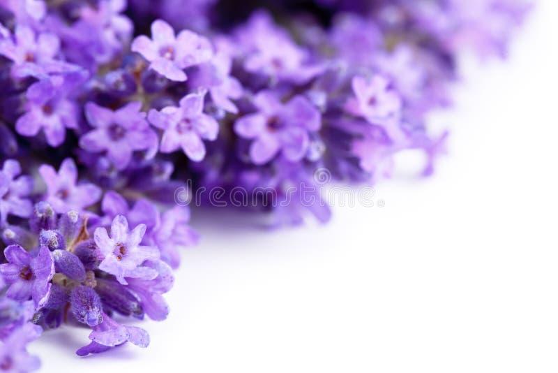 Lavendelblommor royaltyfria bilder