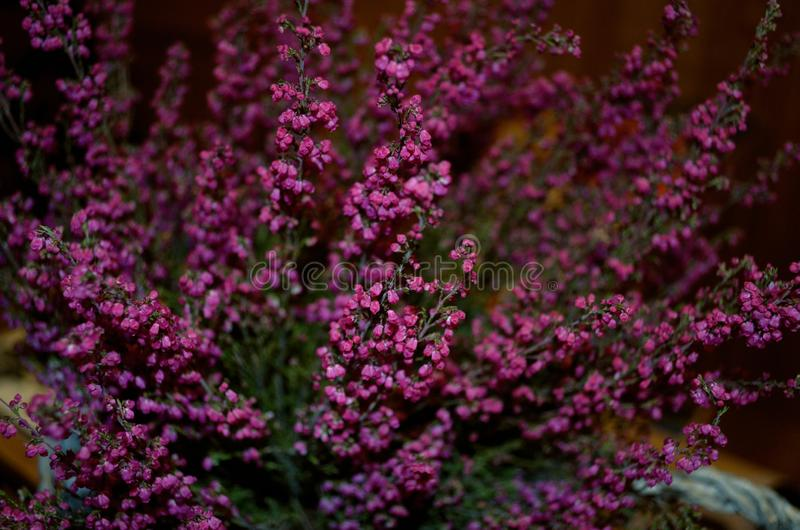 Lavendelblommor av purpurfärgad färg med suddiga nyanser arkivfoton