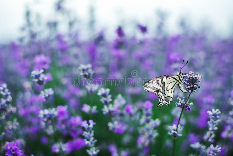 Lavendelblommor i fält med fjärilen royaltyfri fotografi