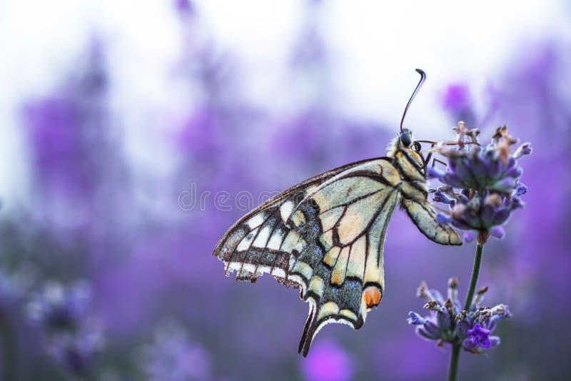Lavendelblommor i f?lt med fj?rilen royaltyfri bild