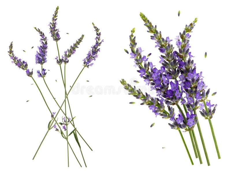 Lavendelblommor som isoleras på vit bakgrund royaltyfri foto