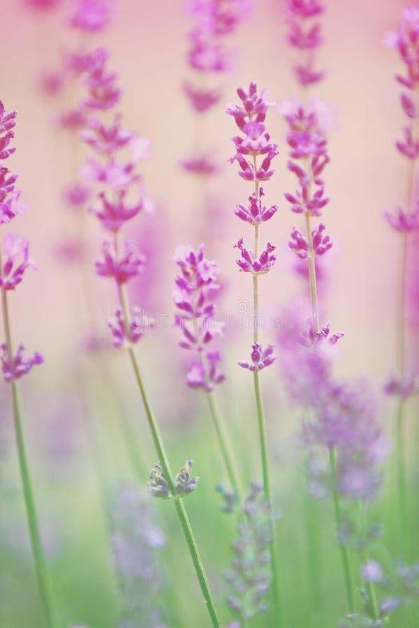 Lavendelblommor stänger sig upp royaltyfria bilder
