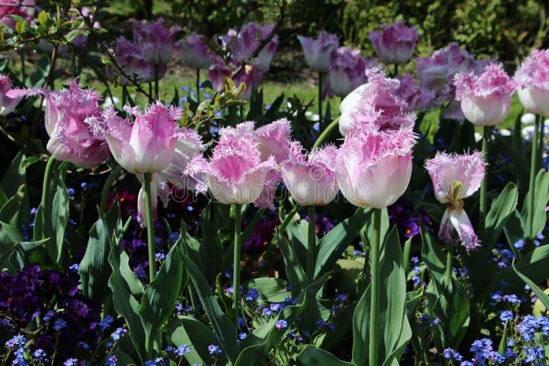 Lavendelblommorna är ett säkert tecken att våren är här arkivbilder