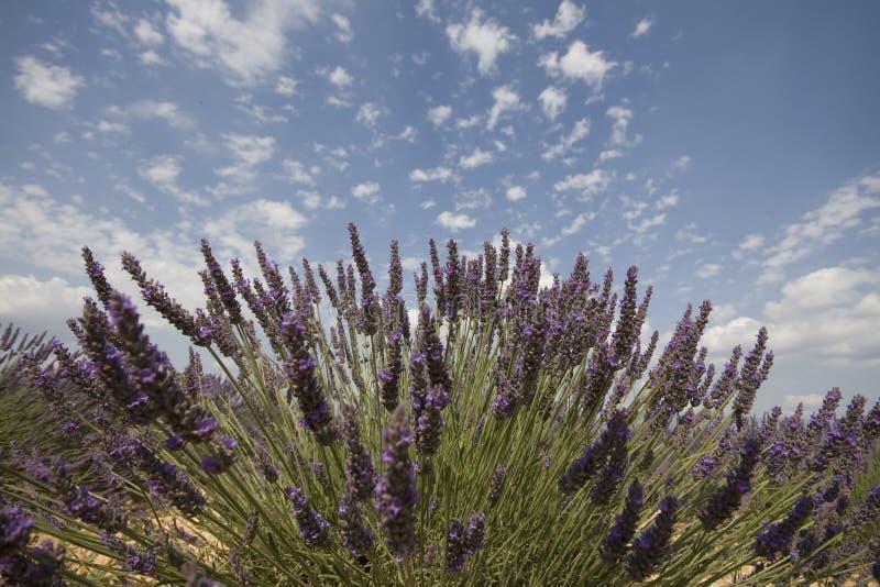 Lavendelblume lizenzfreies stockbild