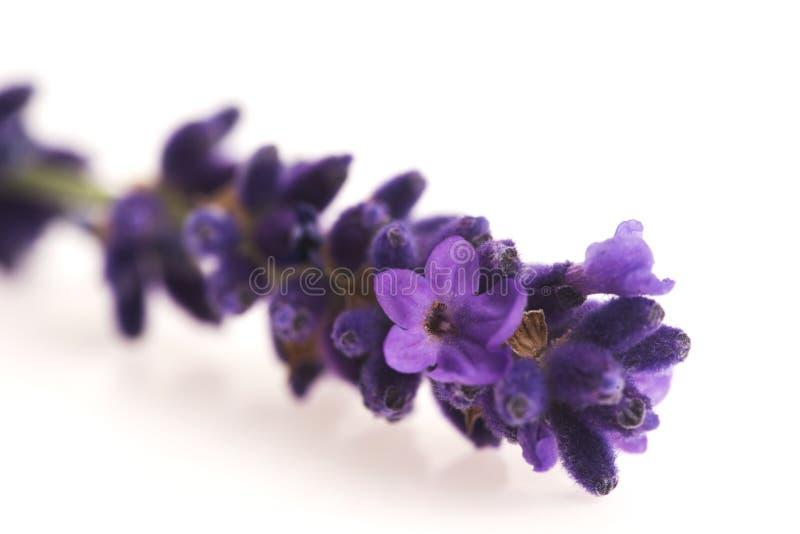 Lavendelblume stockbilder