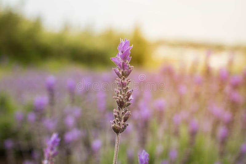 Lavendelblume am Garten am Abend lizenzfreies stockfoto