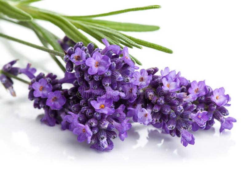 Lavendelblume trennte stockbild