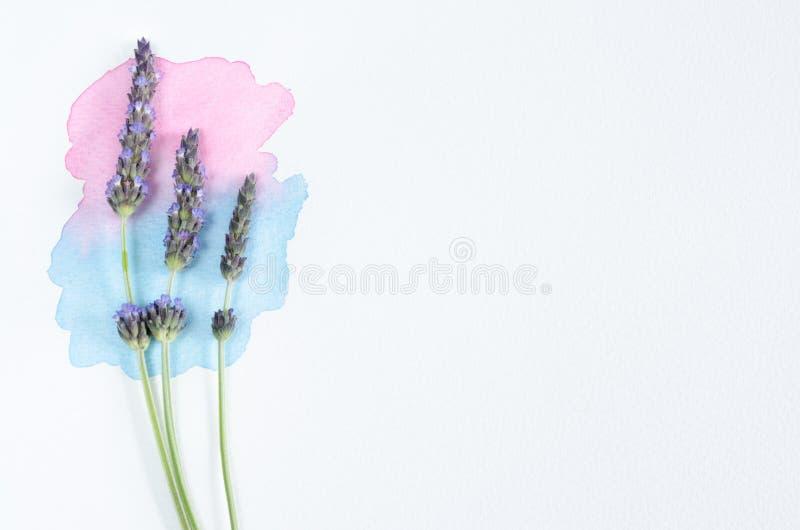 Lavendelblumen über Aquarell und weißem Hintergrund stockfotos