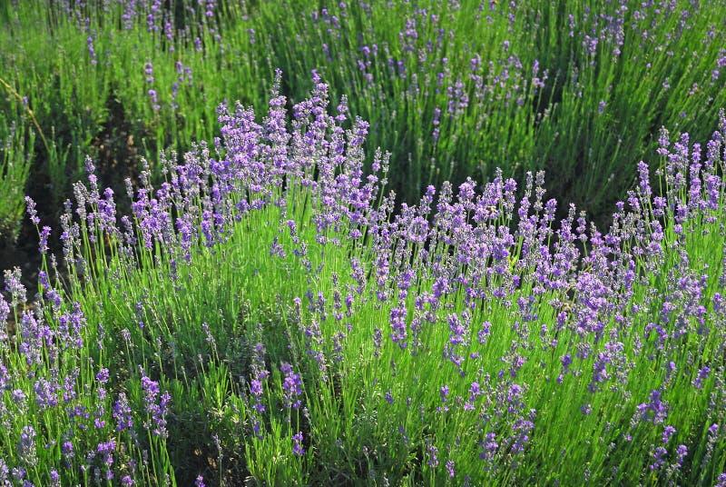 Lavendelblumen lizenzfreie stockfotos
