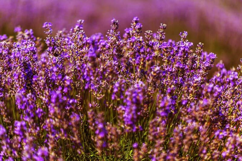 Lavendelblumen in der Sonne in der Weichzeichnung, in den Pastellfarben und im Unschärfehintergrund Purpurrotes Feld des Lavendel stockfotografie