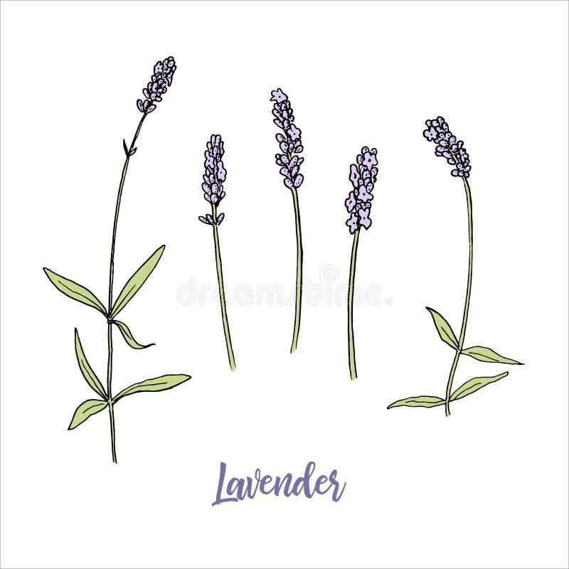 Lavendelblumen färbten Skizzenart steem und Kopf in der Blüte Bündel purpurrote Lavandulablumen Feder auf einem wei?en Hintergrun vektor abbildung