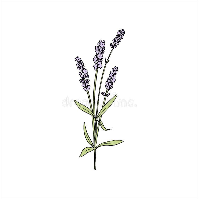 Lavendelblumen färbten Skizzenart steem und Kopf in der Blüte Bündel purpurrote Lavandulablumen vektor abbildung