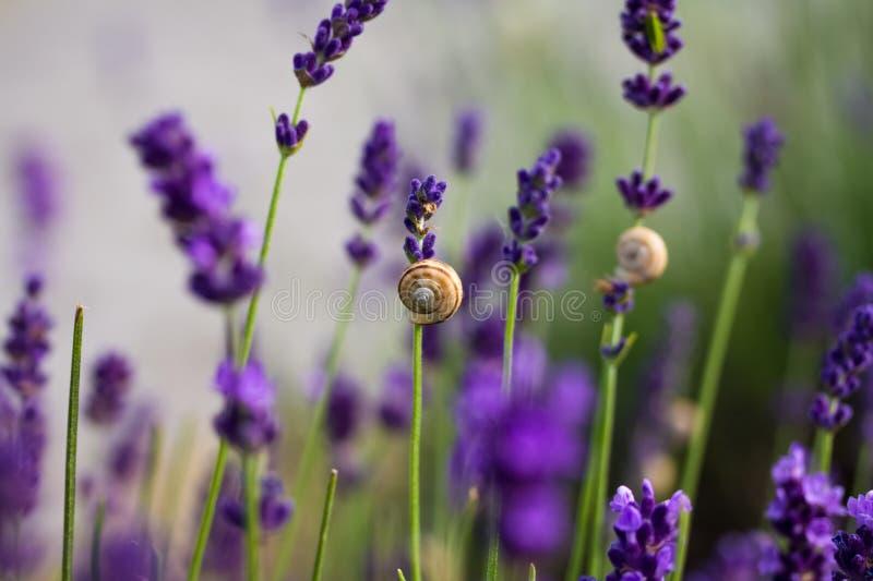 Lavendelblumen mit Schneckenhäusern lizenzfreies stockfoto