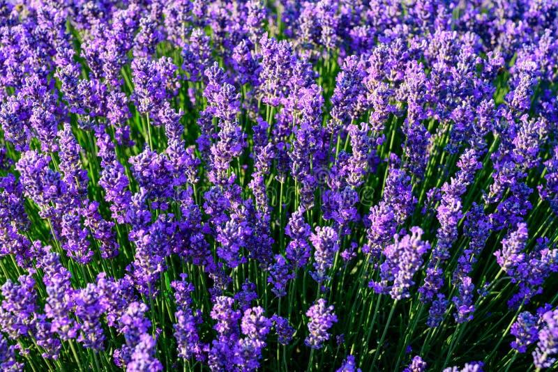 Lavendelblumenfeldabschluß herauf Detail in der Sommerzeit stockbild