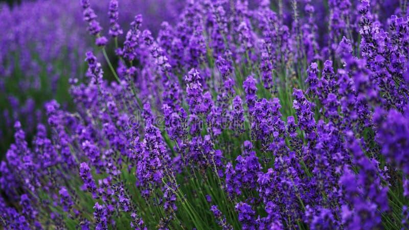 Lavendelblumenfeldhintergrund an lizenzfreies stockbild